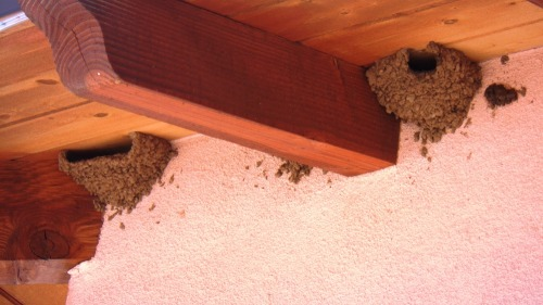Swallow_nests