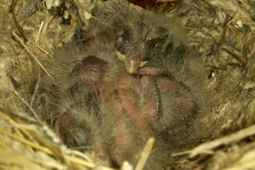 June_3_baby_birds