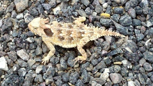 Horny_lizard